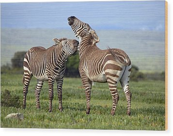 Cape Mountain Zebra Stallions Sparring Wood Print by Peter Chadwick