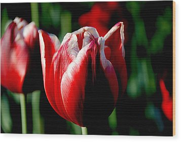 Capital Tulip Wood Print by Christy Phillips