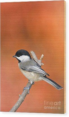 Carolina Chickadee - D007812 Wood Print by Daniel Dempster