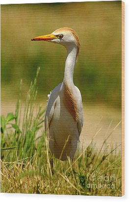 Cattle Egret With Closed Eyelid Wood Print by Robert Frederick