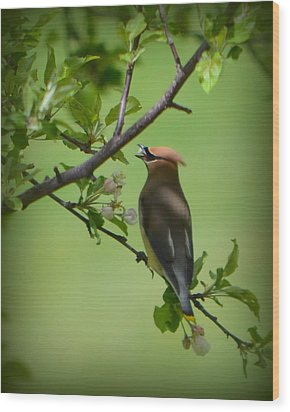 Cedar Wax Wing Wood Print by Carol Norman