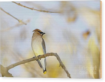 Cedar Waxwing On Yellow And Blue Wood Print by Susan Gary