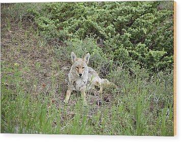 Colorado Coyote Wood Print by Jenna Szerlag