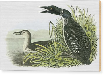 Common Loon Wood Print by John James Audubon