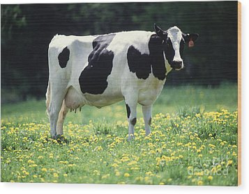 Cow In Pasture Wood Print by Science Source