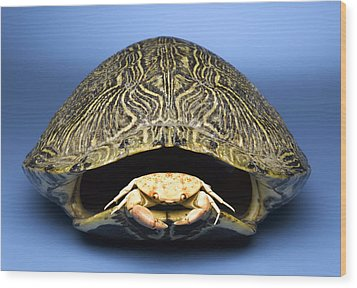 Crab Inside Of Empty Turtle Shell Wood Print by Jeffrey Hamilton