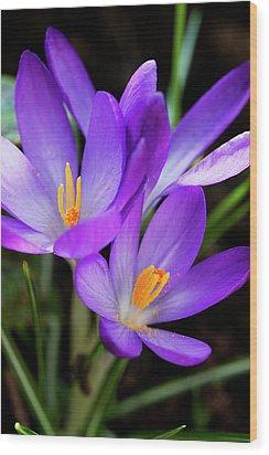Crocus Flower Wood Print by Andrew Dernie