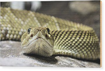 Crotalus Basiliscus Wood Print by JC Findley