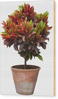 Croton Tree In Flowerpot Wood Print by Atiketta Sangasaeng