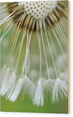 Dandelion Seeds Wood Print by Laurianne Garraud