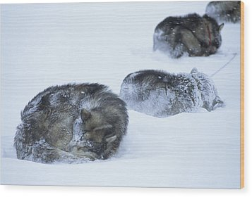 Dogs Sleep In Blizzard On Frozen Ocean Wood Print by Gordon Wiltsie