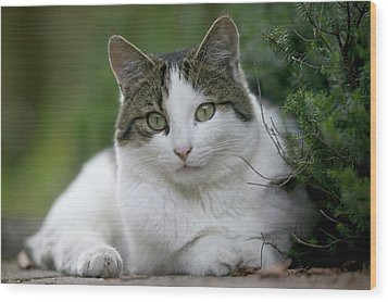 Domestic Cat Felis Catus Portrait Wood Print by Cyril Ruoso