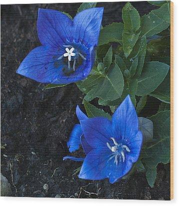 Dwarf Balloon Flower Platycodon Astra Blue  Wood Print by Steve Purnell