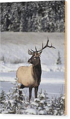 Elk Cervus Canadensis Bull Elk During Wood Print by Richard Wear