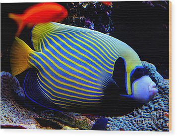 Emperor Angelfish Wood Print by Pravine Chester