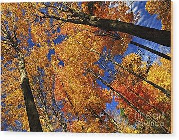 Fall Maple Treetops Wood Print by Elena Elisseeva