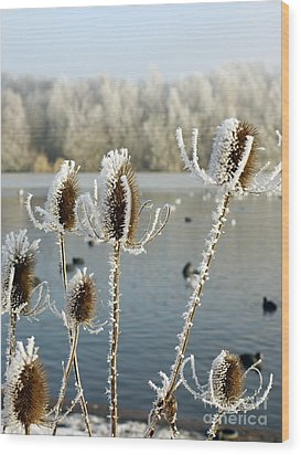 Frosty Teasel Wood Print by John Chatterley