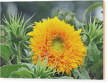 Fuzzy Sunflower Wood Print by Becky Lodes