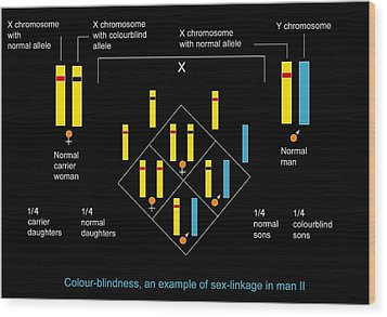 Genetics Of Colour Blindness, Diagram Wood Print by Francis Leroy, Biocosmos