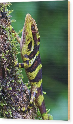 Giant Anole Dactyloa Microtus Male Wood Print by James Christensen