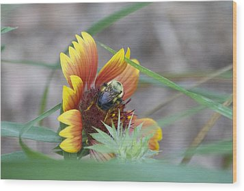 Glory Bumblebee Wood Print by Michel DesRoches