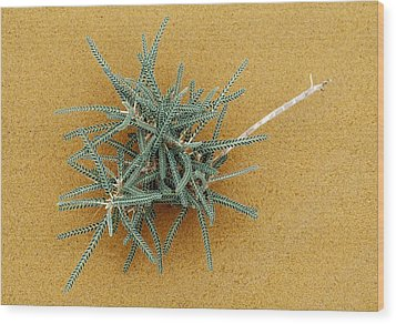 Goat's-thorn (astragalus Gombo) Wood Print by Dirk Wiersma