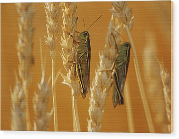 Grasshoppers On Wheat, Treherne Wood Print by Mike Grandmailson