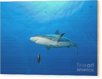 Gray Reef Shark. Papua New Guinea Wood Print by Steve Jones