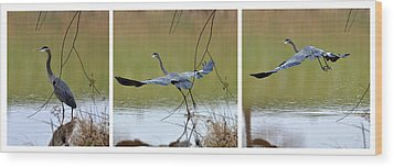 Great Blue Heron Takes Flight - T9535-7h  Wood Print by Paul Lyndon Phillips