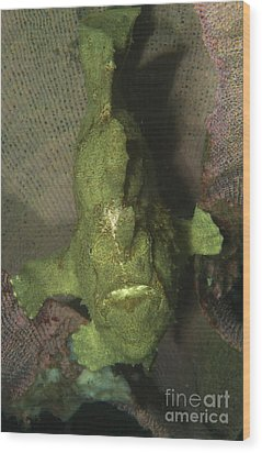 Green Frogfish In Sponge, North Wood Print by Mathieu Meur