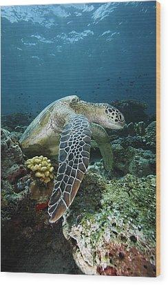 Green Sea Turtle Chelonia Mydas Wood Print by Hiroya Minakuchi