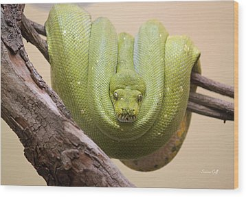 Green Tree Python Wood Print by Suzanne Gaff