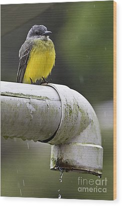 Grey-capped Flycatcher Wood Print by Heiko Koehrer-Wagner