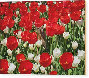 Groundhog Day - A Curious Marmot Peeking Through Luminous Red And White Spring Tulips On A Sunny Day Wood Print by Chantal PhotoPix