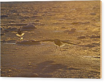 Gulls Searching For A Meal Wood Print by Tim Grams