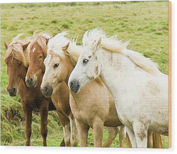 Iceland Ponies Wood Print by David Blaikie