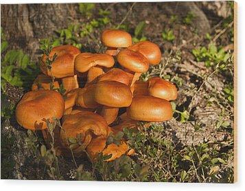 Jack Olantern Mushrooms 24 Wood Print by Douglas Barnett
