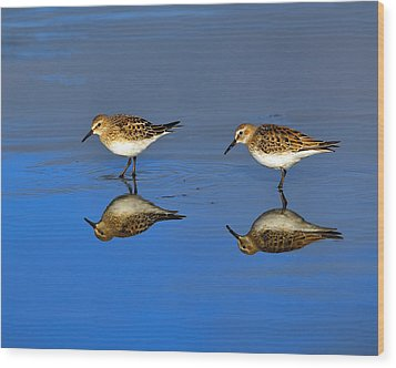 Juvenile White-rumped Sandpipers Wood Print by Tony Beck