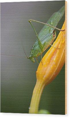 Katydid Wood Print by Karol Livote