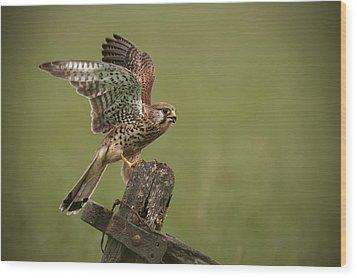 Kestrel Wood Print by Andy Astbury