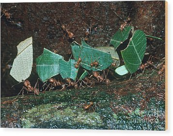 Leafcutter Ants Wood Print by Gregory G. Dimijian
