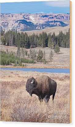Lone Buffalo Wood Print by Cindy Singleton