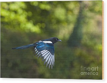 Magpie Wood Print by Andrew  Michael