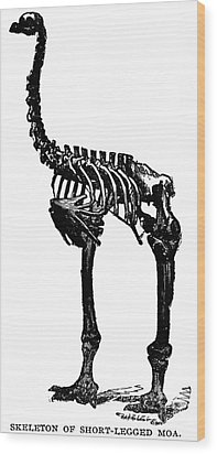 Moa Skeleton Wood Print by Granger