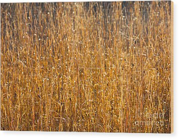 Morning Sunshine On The Marsh Wood Print by Carol Groenen