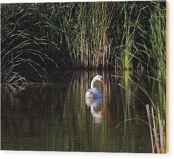 Mute Swan Wood Print by Jim Nelson