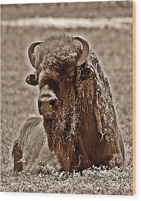 Napping Bison Wood Print by Monica Wheelus