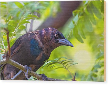 Ominous Molting Grackle Wood Print by Bill Tiepelman