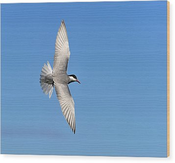 One Good Tern Deserves Another Wood Print by Tony Beck