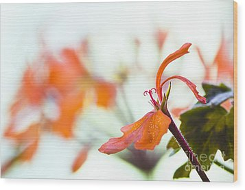 Orange Cranesbill Wood Print by David Lade